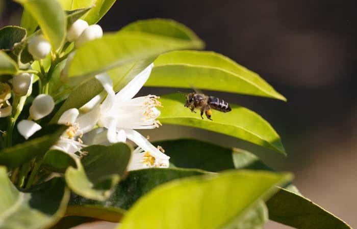 Lemon flower honey 500g