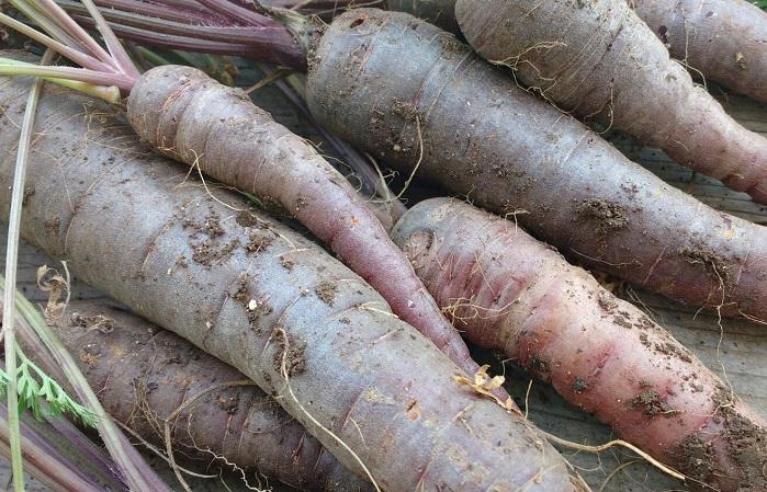 Purple Carrots ORGANIC