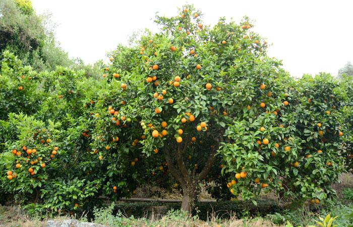 Cubotto di Ovale - Avocado Hass BIO ( 9,5+2) 11,5 kg