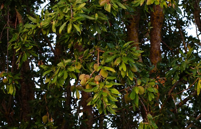 ORGANIC Shelled Roasted Almonds 100g