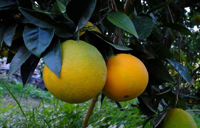 Cubotto di Navelina - Avocado Hass BIO (9,5+2) 11,5 kg