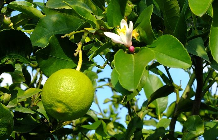 Lemons BIO