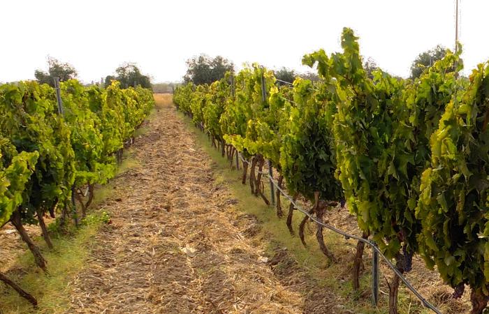Frappato DOC Vittoria BIO 0,75L - 2011