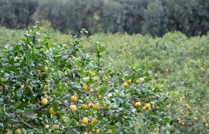 Cubotto with Ovale - Lemons  (9,5+2) BIO 11,5kg
